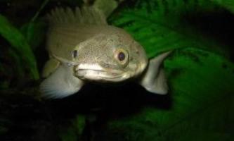 Поліптерусов: зміст в акваріумі
