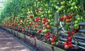 Полив томатів у теплиці