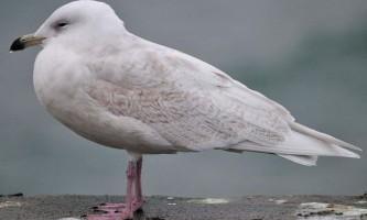 Полярна чайка - птах з арктики