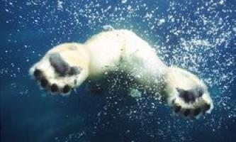 Полярна ведмедиця зробила рекордний 9-денний заплив