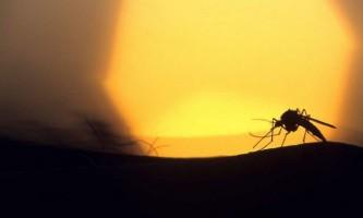 Полярні комарі заполонять землю в разі зміни клімату