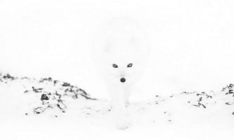 Полярні лисиці в фотографіях анни хенлі