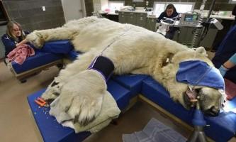 Полярний ведмідь борис на прийомі у ветеринарного стоматолога