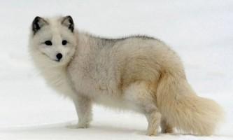 Полярний песець (полярна лисиця)