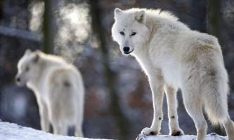 Полярний вовк