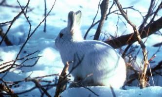 Полярний заєць (арктичний біляк)