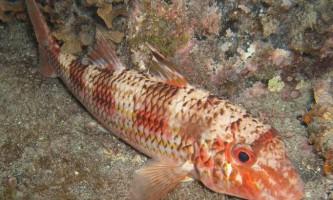 Смугаста барабуля - риба, за яку платили сріблом
