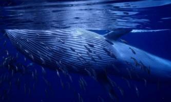 Полосатик брайда - хижий кит