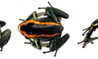 Смугасті листолазів - отруйні земноводні
