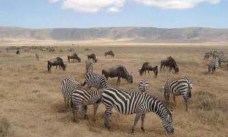 Смужки зебр назвали помилковим камуфляжем