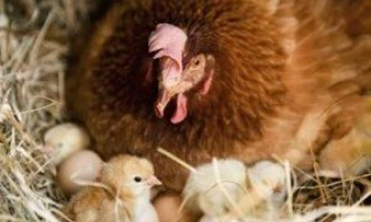 Отримання молодняка домашньої птиці шляхом природної інкубації яєць