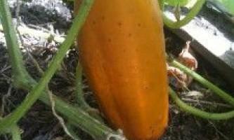 Отримання насіння огірків