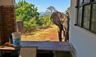 Отримав кульове поранення слон, звернувся за допомогою до людей