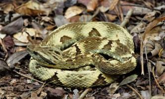 Півторарічний бразильський хлопчик на смерть загриз отруйну змію