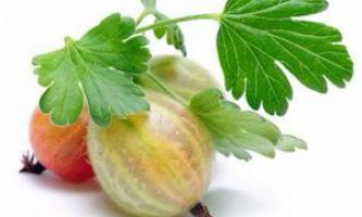 Користь і шкода агрусу, як ягоди впливають на здоров`я людини