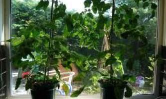 Помідори на підвіконні: особливості вирощування.