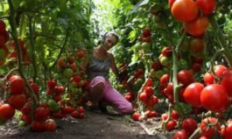 Помідори в теплиці. Відео вирощування помідор в теплиці
