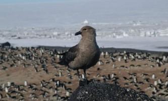 Поморник - птах антарктики