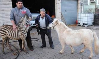 Поні та зебра втекли із зоопарку в нью-йорку