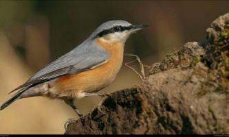 Поползень (ямщик) - дивовижна птах