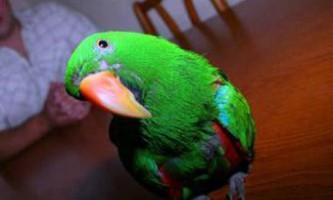Папуги бувають правшами і лівшами