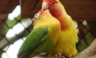 Папуги нерозлучники не можуть жити без «своєї половинки»