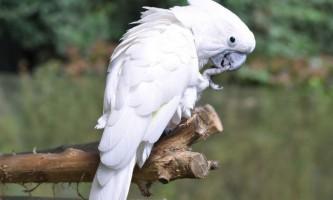 Папуга какаду