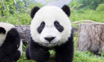 Популяція великих панд на території китаю помітно зросла