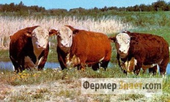 Популярні породи великої рогатої худоби м`ясного напрямку