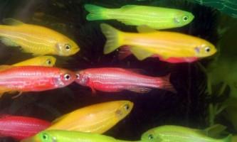 Популярні види рибок даніо