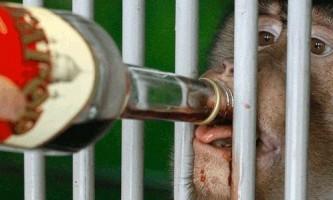 Порція вина рятує мавп від грві
