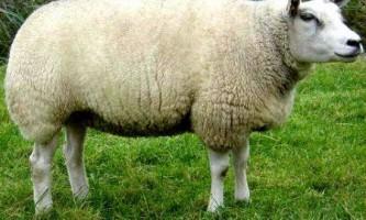 Порода овець тексель