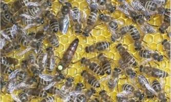 Порода бджіл карінка, все про неї, відгуки та відео
