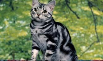 Породиста кішка без документів: що робити, і куди бігти