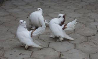 Породи голубів: основні групи