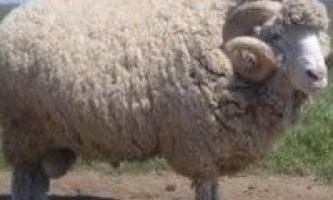 Породи овець для розведення