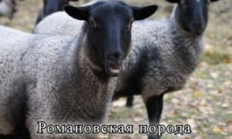 Породи овець м`ясного напряму