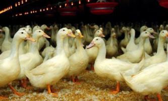 Породи качок для утримання будинку