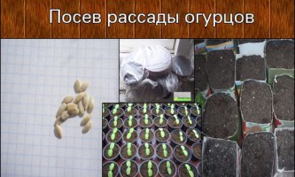 Посадка огірків на розсаду