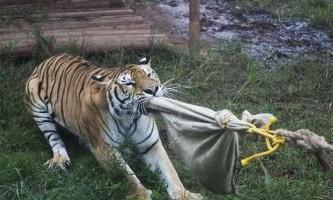 Відвідувачі китайського зоопарку можуть помірятися силою з тигром