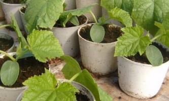 Посів насіння на розсаду - коли почати?