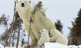 За пів століття заборони відкриється полювання на білих ведмедів.