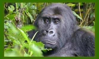 Остання надія на життя великих мавп