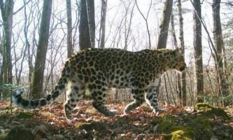 Потерпілий приморський леопард зовсім скоро відчує свободу