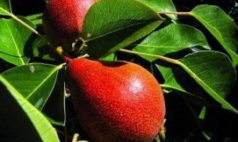 Пізні сорти груш: особливості, переваги, недоліки, фото