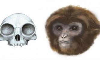 Праматір мавп, ймовірно, була мініатюрною