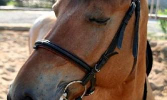 Чи правда, що коні сплять в положенні стоячи?