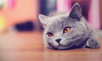 Правила харчування, які повинен знати кожен власник британської кішки