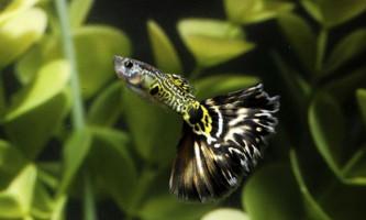 Правила утримання рибок гуппі