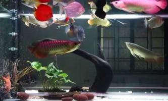 Правила сумісності дискус з іншими рибками